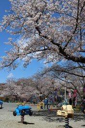 船越南郷公園の桜 画像(2/2)