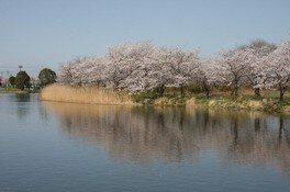 吉野公園の桜 画像(2/4)