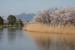 吉野公園の桜 画像(3/4)