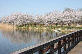 吉野公園の桜 画像(4/4)