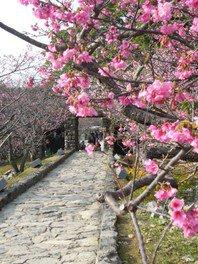 今帰仁城跡の桜 画像(2/4)
