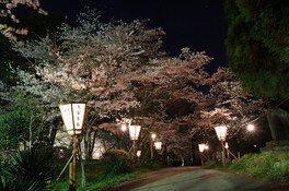 臼杵城址の桜 画像(4/4)