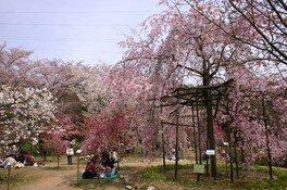 滋賀県立近江富士花緑公園の桜 画像(3/3)