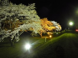 雫石川園地の桜 画像(2/2)
