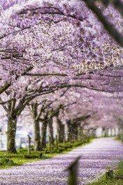 幻想的な桜吹雪 おの桜づつみ回廊の桜 画像(3/4)