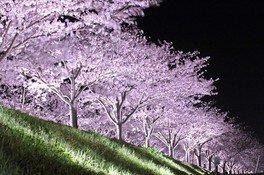 2019年から実施しているライトアップ おの桜づつみ回廊の桜 画像(4/4)