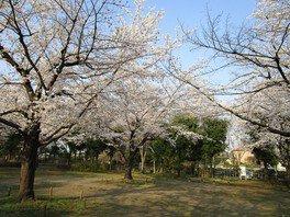 城山公園の桜 画像(2/2)
