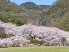 不動の滝カントリーパークの桜 画像(2/3)
