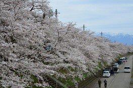 勝山弁天桜(九頭竜河畔の桜) 画像(2/2)