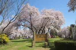 紫波城山公園の桜 画像(2/2)