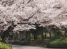 千葉市動物公園の桜 画像(2/4)
