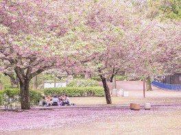 千葉市動物公園の桜 画像(3/4)