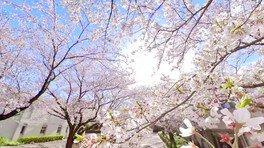千葉市動物公園の桜 画像(4/4)