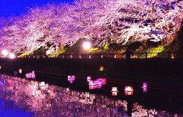 桜遊歩道公園の桜 画像(2/2)