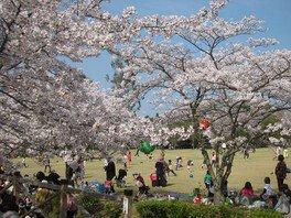公渕森林公園の桜 画像(2/5)