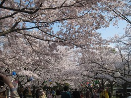 公渕森林公園の桜 画像(3/5)