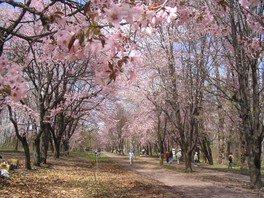 帯広市緑ケ丘公園の桜 画像(2/2)