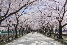 高田城址公園の桜 画像(3/5)