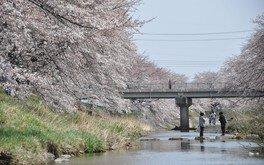 藤田川ふれあい桜 画像(3/4)