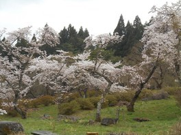 室根山 蟻塚公園の桜 画像(4/5)