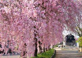 日中線しだれ桜並木の桜 画像(2/4)