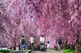 日中線しだれ桜並木の桜 画像(3/4)
