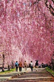 日中線しだれ桜並木の桜 画像(4/4)