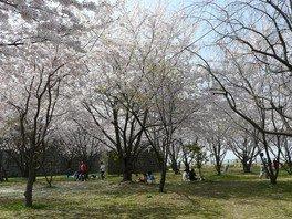 丸亀城の桜 画像(2/5)