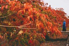 柳坂ハゼ祭りの紅葉 画像(2/2)