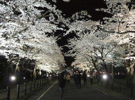 村松公園の桜 画像(2/2)