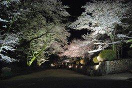 三井寺(園城寺)の桜 画像(2/5)