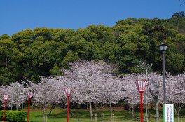 県立琴弾公園の桜 画像(3/5)