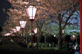 県立琴弾公園の桜 画像(5/5)