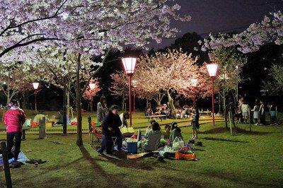 県立琴弾公園の桜
